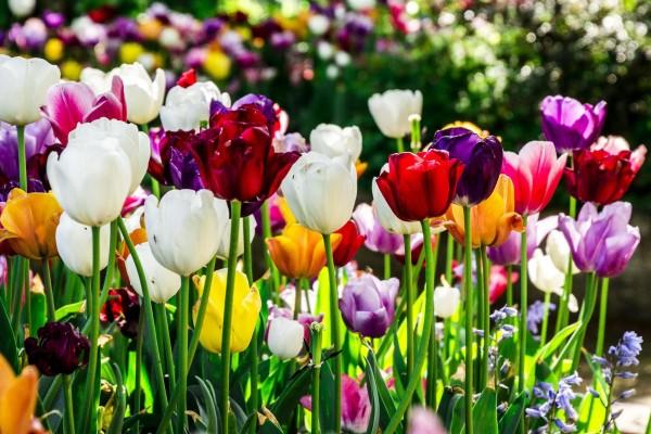 Burbiškio dvare žydinčios tulpės pasaką seks dvi dienas
