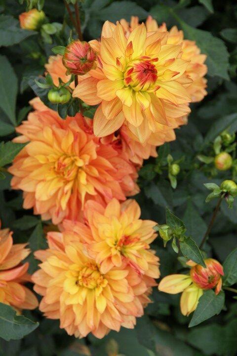 VDU Botanikos sode pražydo puošniausios rudens gėlės – gausi jurginų kolekcija